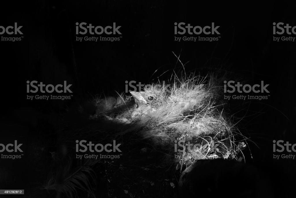 Black and white retro presentation of the chick in the nest stock photo