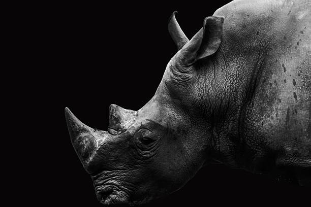 Black and white rhino Dramatic images animal Black and white rhino Dramatic images animal rhinoceros stock pictures, royalty-free photos & images