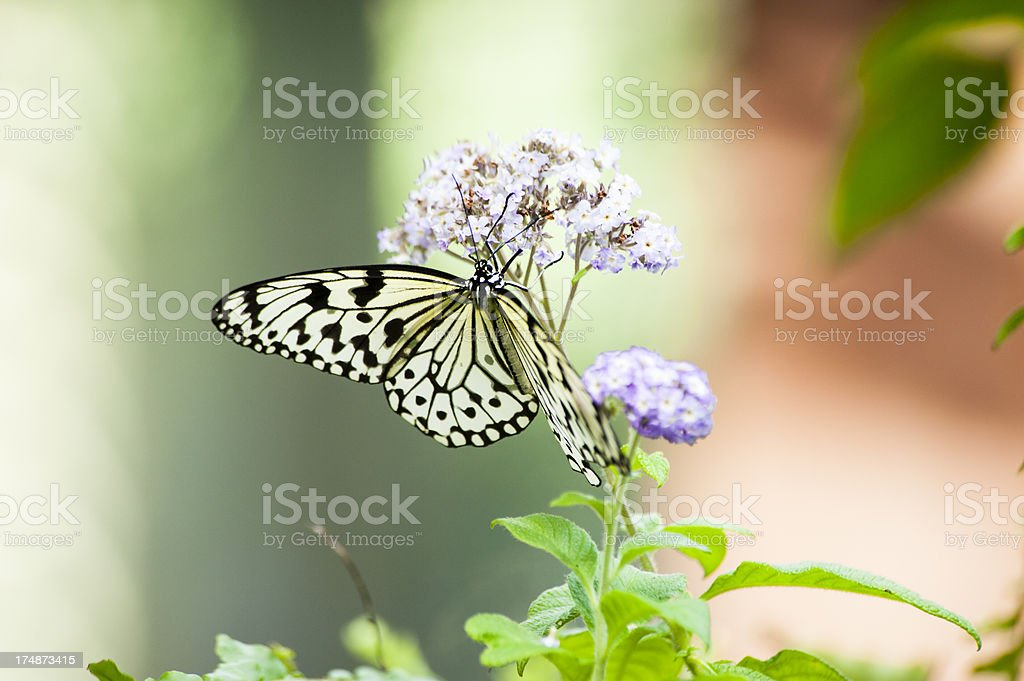 Black and white Rice Paper Butterfly royalty-free stock photo