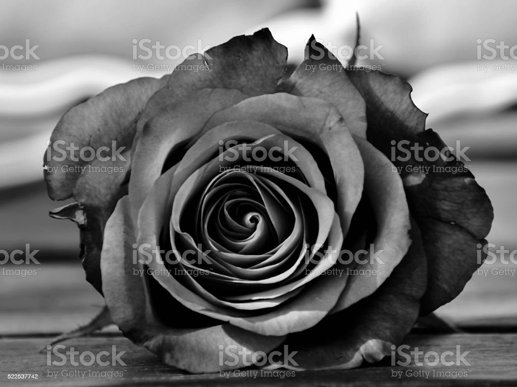 Black and White Rose Close up stock photo