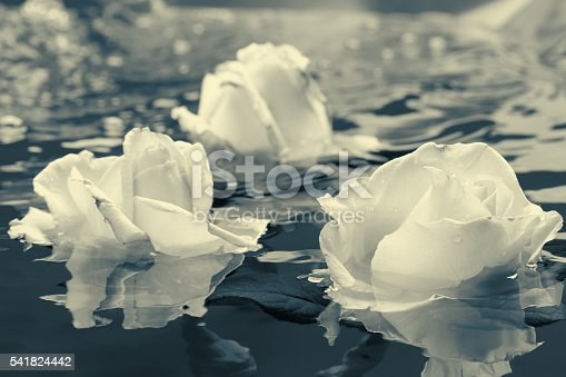 612015846 istock photo Black and white rose flower with water 541824442