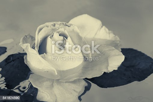 612015846 istock photo Black and white rose flower with water 541824590