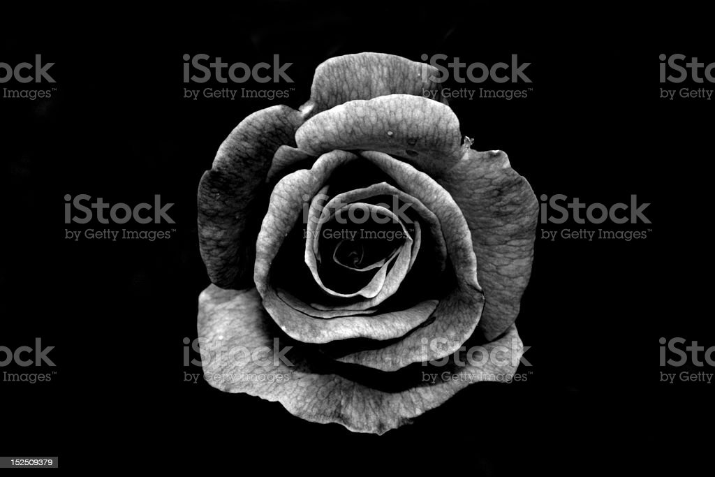 Black and white rose stock photo
