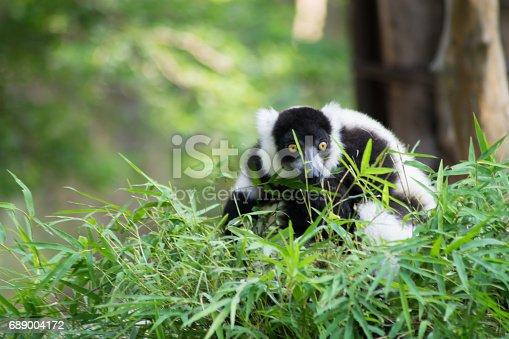 istock black and white ruffed lemur 689004172