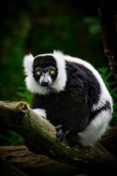 Black and white ruffed lemur portrait stock photo