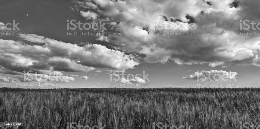 Black and white scene with barley field. Hordeum vulgare stock photo