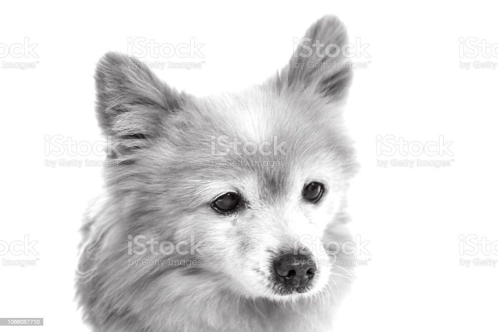 Black and white senior dog stock photo