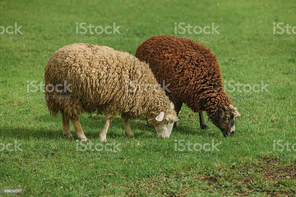 Black and white sheep royalty-free stock photo