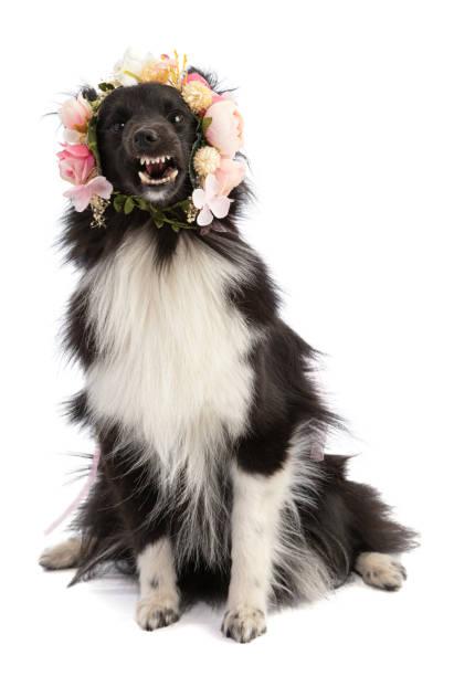 Schwarz und weiß Shetland Sheepdog mit Blumen – Foto