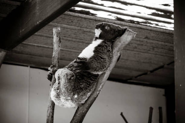 Black and White shot of a Koala sleeping in a tree with a rustic backround stock photo