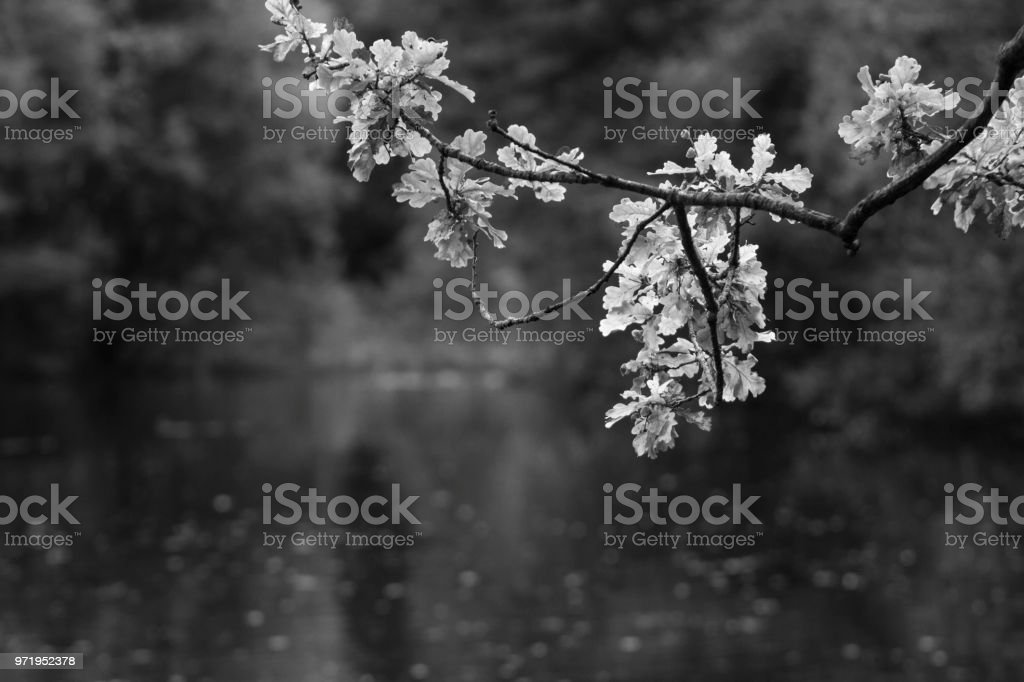 Black and white shot of oak branch over a lake stock photo
