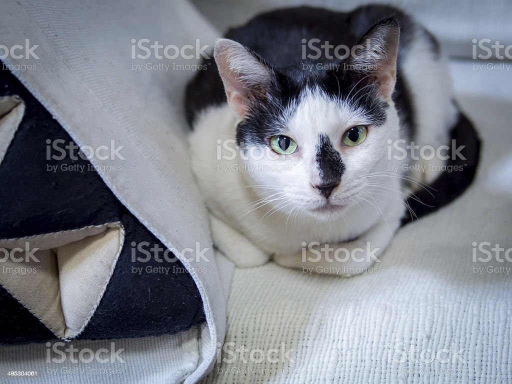 Aegean Cat Black And White
