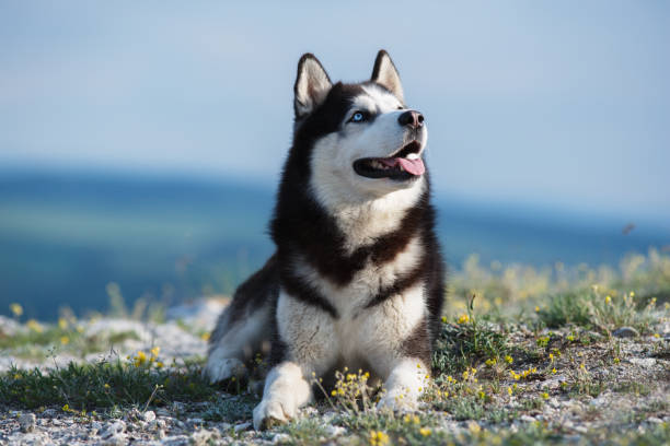 Black and white Siberian husky lying on a mountain on the background of the lake. The dog on the background of natural landscape. Black and white Siberian husky lying on a mountain on the background of the lake. The dog on the background of natural landscape. Blue eyes. sled dog stock pictures, royalty-free photos & images