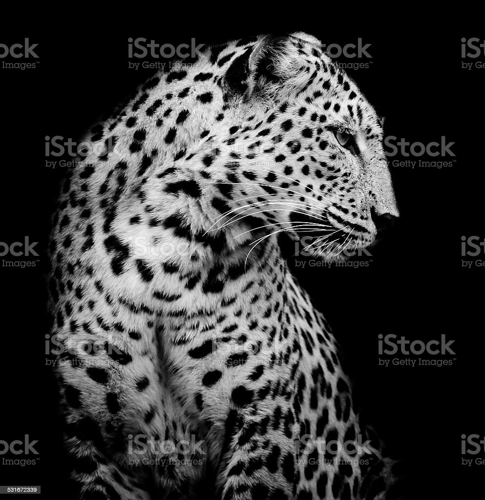 black and white side of Leopard stock photo