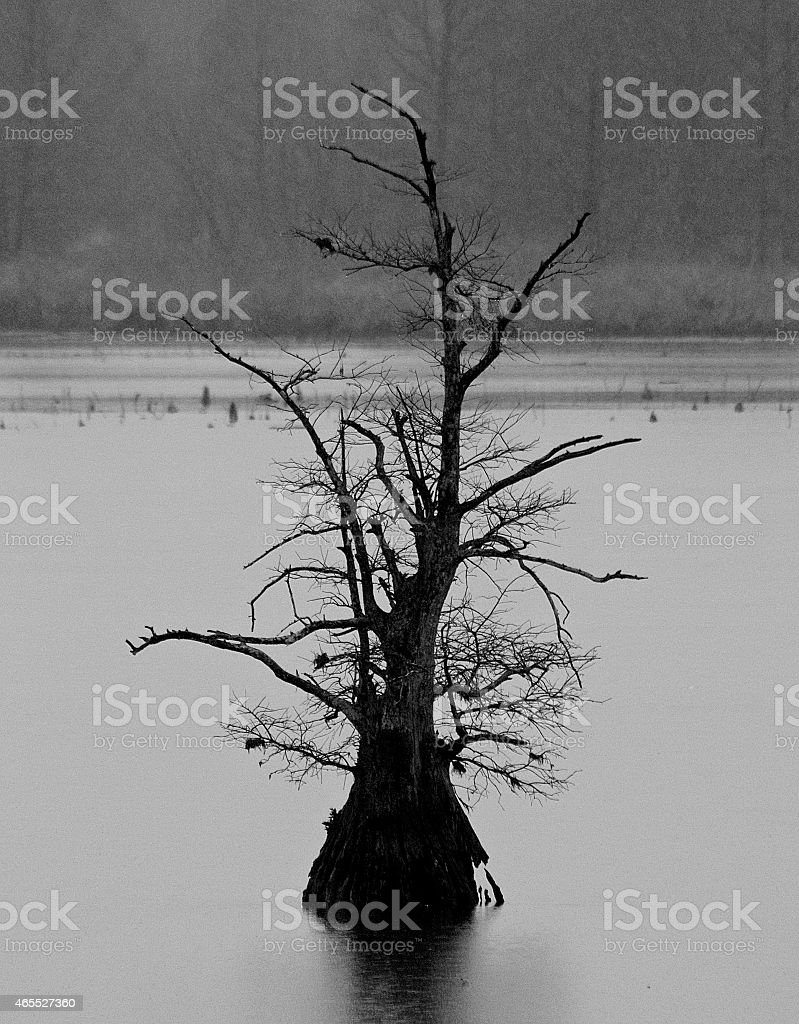 Black and White Silhouette of Cypress Tree stock photo