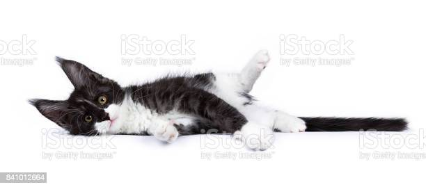 Black and white smoke maine coon cat kitten lying isolated on white picture id841012664?b=1&k=6&m=841012664&s=612x612&h=xuzwpduqhfvxfegdrb0bw9ysjji8h0r8sgvpqxwvdoq=