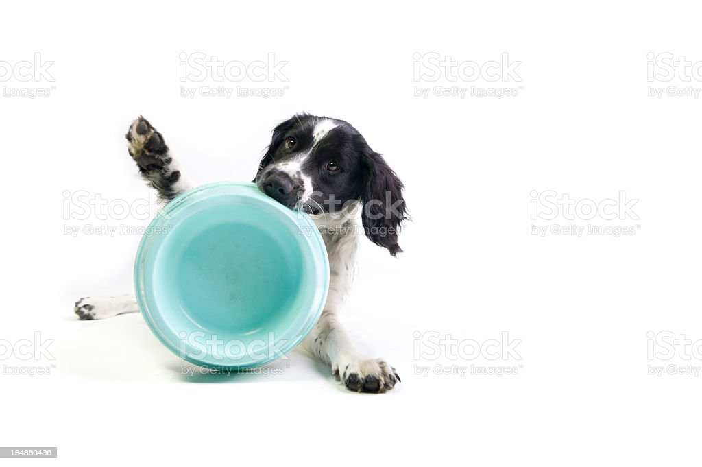 Black and white spaniel holding empty blue bowl in mouth royalty-free stock photo