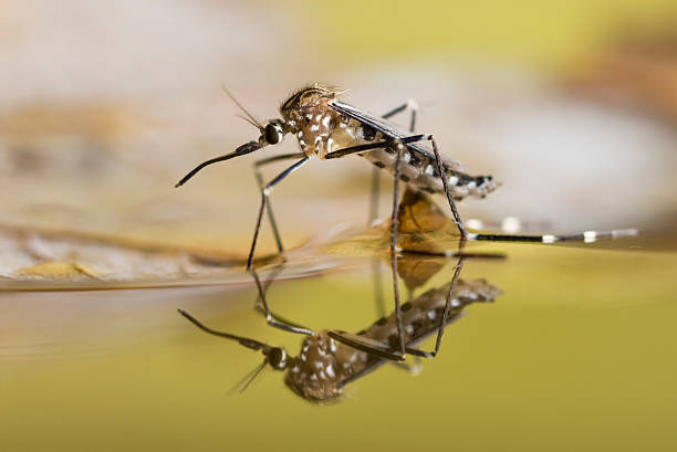 black and white spotted mosquito on the surface of liquid - mosquito stock photos and pictures