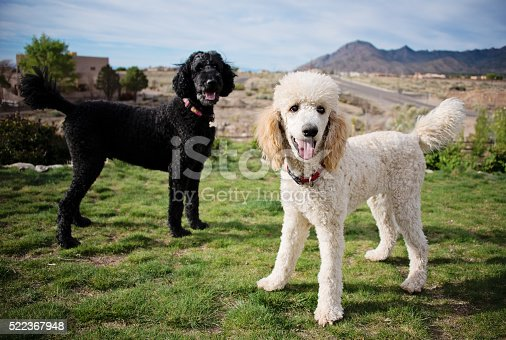 Black and White Standard Poodles