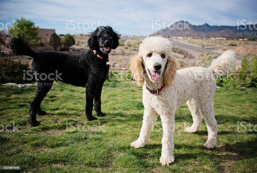 Black and White Standard Poodles in Garden stock photo