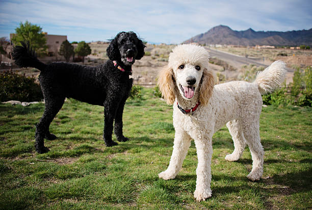 Black and White Standard Poodles in Garden Black and White Standard Poodles poodle stock pictures, royalty-free photos & images
