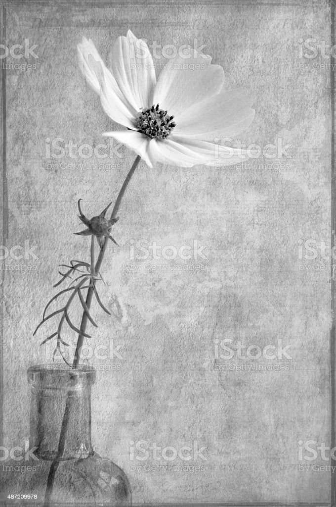 Black and White still life of Cosmos stock photo