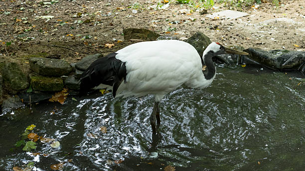 Black and white stork walking in the still water stock photo