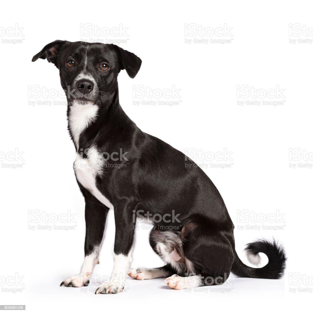 Zwart-wit zwerfhond zitten kant manieren geïsoleerd op witte achtergrond foto