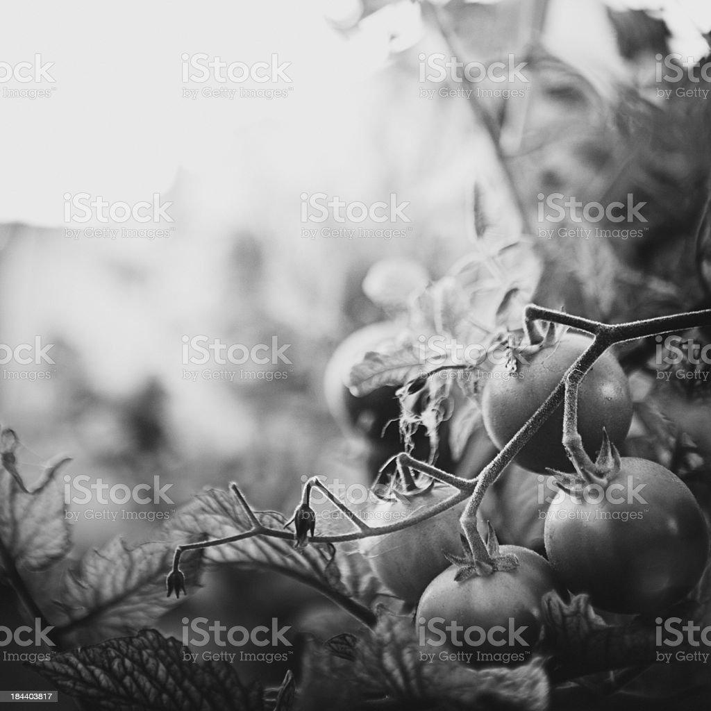 Black and White Summer Tomatos royalty-free stock photo