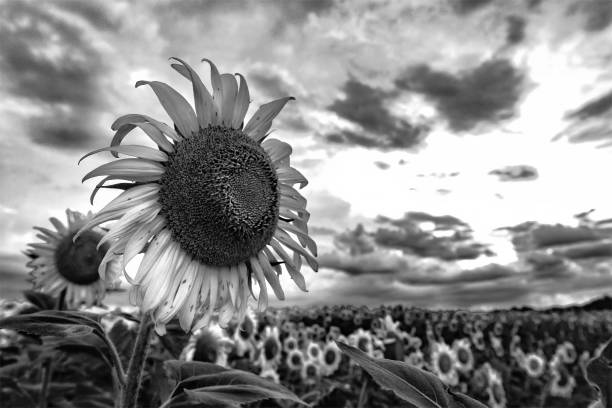 Royalty Free Black And White Sunflower Pictures Images And Stock