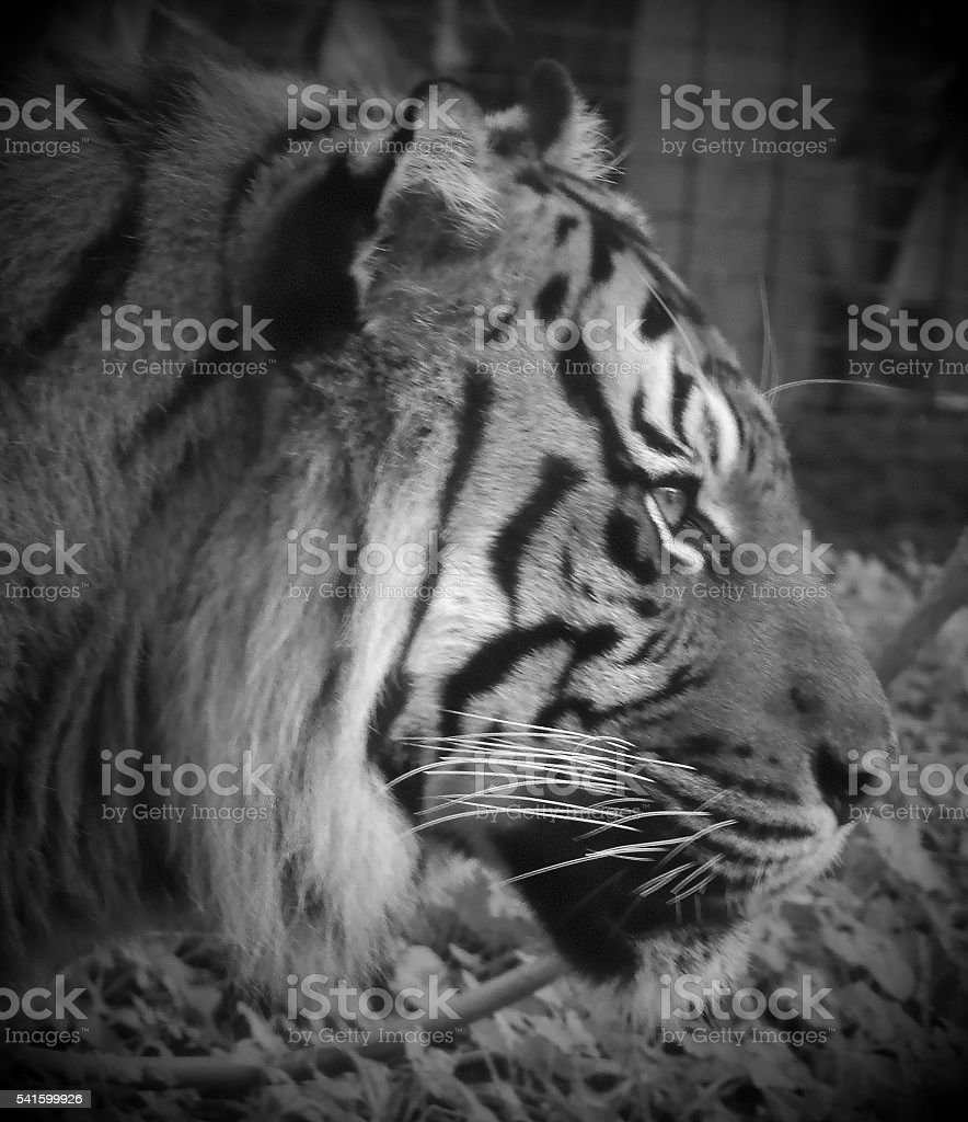 Black and White Tiger Image stock photo