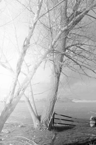 Arboles blancos y negros. - foto de stock