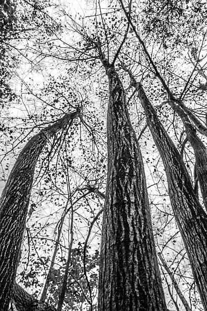 Black and white trees stock photo