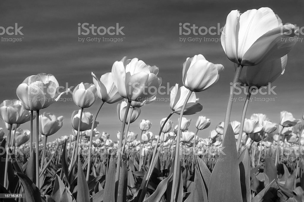 Black and White Tulips Blowing in Gentle Breeze stock photo