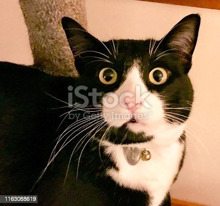 This black and white cat  looks surprised