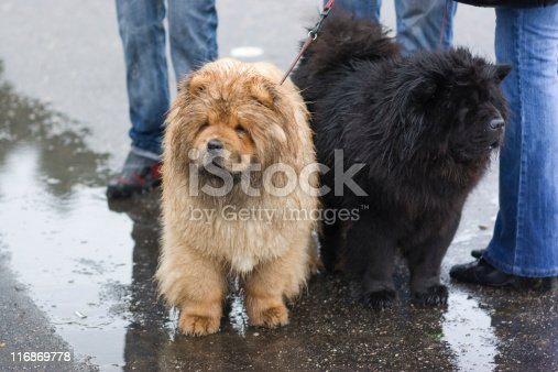 Two chow-chow