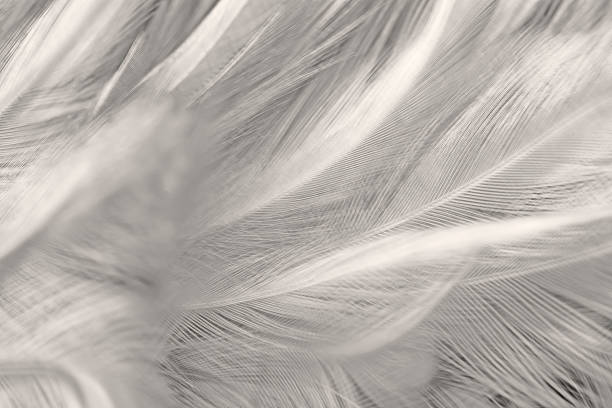 Black and white vintage color trends chicken feather texture background stock photo