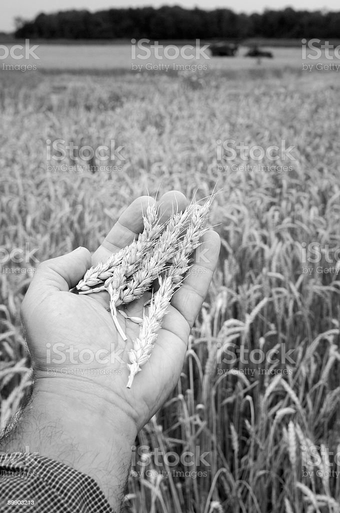 Black and white wheat in hand royalty-free stock photo
