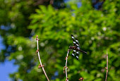 Close up view of an attractive black and white winged dragonfly perched on top of a bare shrub branch, with background trees and blue sky.