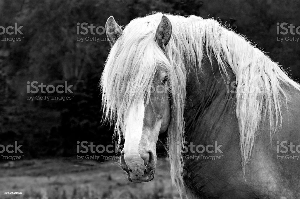 Black and White Work horse head stock photo