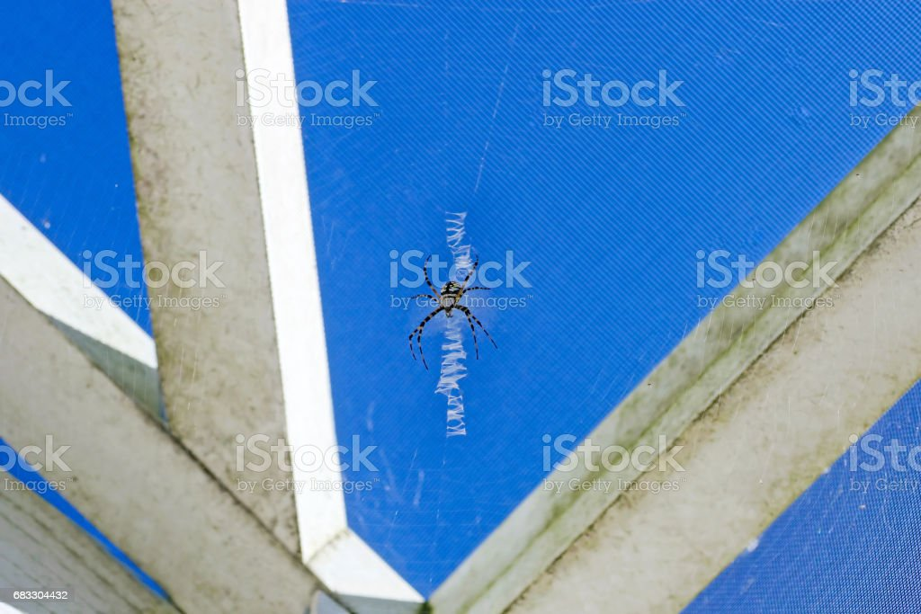 Black and Yellow Argiope Spider stock photo
