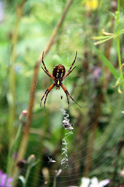 schwarze und gelbe hawaiian spider-unterseite - mottenfalle stock-fotos und bilder