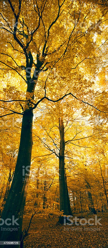Black and Yellow autumn beech forest (XXXLarge) stock photo