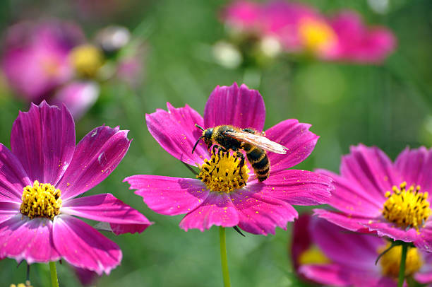 Black And Yellow Bee Pollinating Pink Flowers