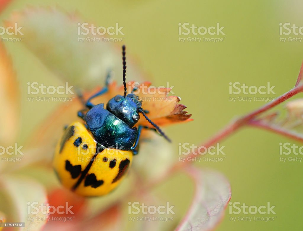 Black and Yellow Beetle Macro with Room for Text royalty-free stock photo