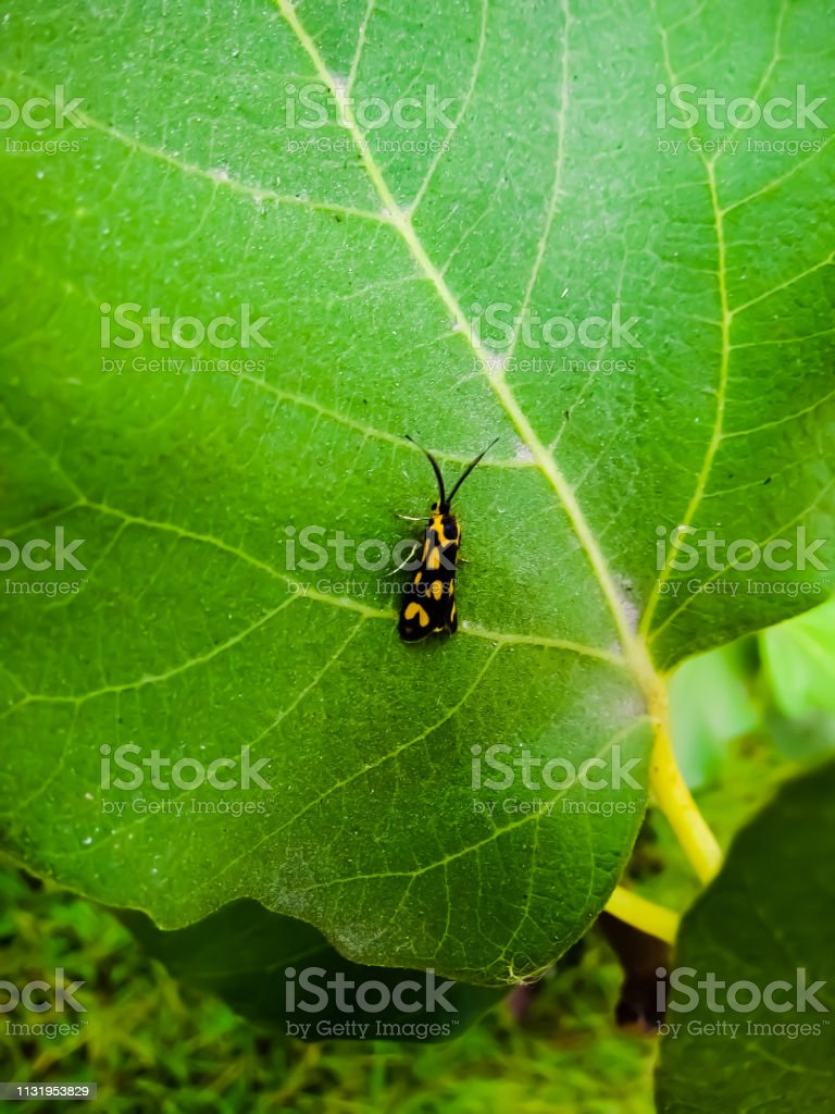 A Black And Yellow Bug On A Fig Leaf 1 Stock Photo