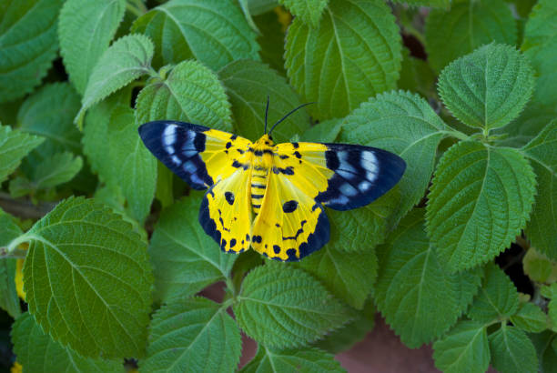 A black and yellow butterfly of the Dysphania genus. stock photo