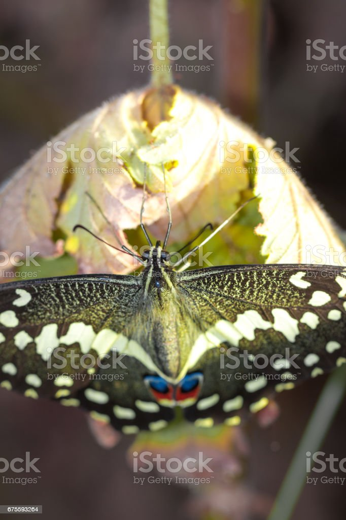 Black and yellow Butterfly sitting on a leaf resting, Cape Town, South Africa photo libre de droits