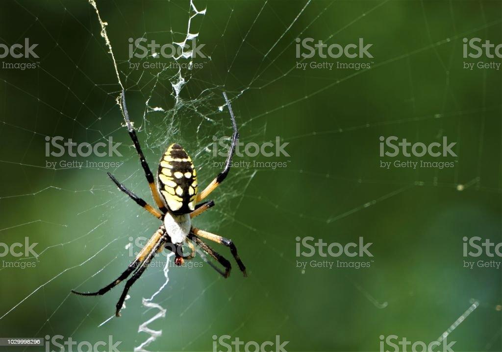 Preto e Amarelo Aranha de Jardim - foto de acervo