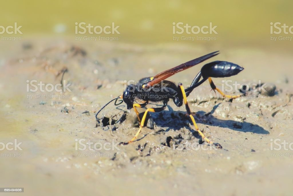 black and yellow mud dauber stock photo more pictures of animal